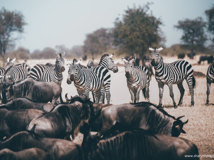 zebra migration, zebra, Tanzania, The Serengeti National Park, safari, morning game drive, travel blog, tanzania photographer, wildlife photography, east africa, sharyn hodges