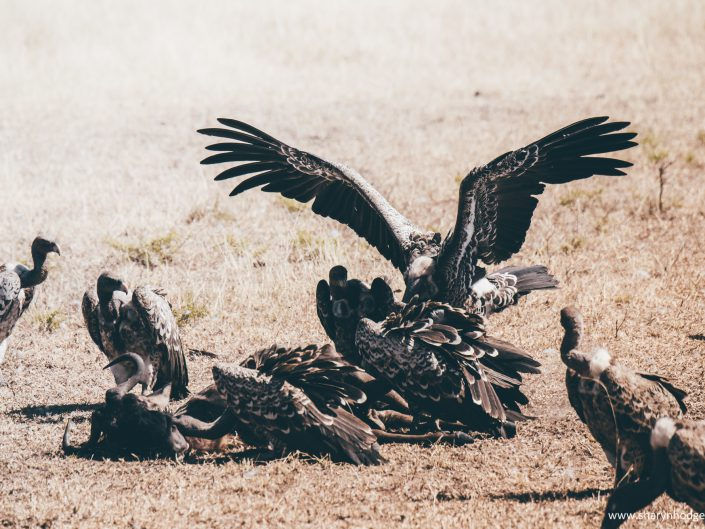 vultures, Tanzania, The Serengeti National Park, safari, morning game drive, travel blog, tanzania photographer, wildlife photography, east africa, sharyn hodges