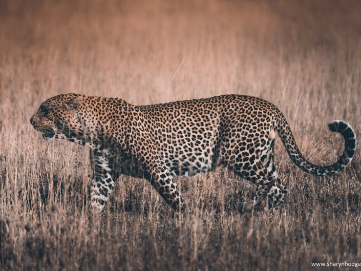 male leopard, Tanzania, The Serengeti National Park, safari, morning game drive, travel blog, tanzania photographer, wildlife photography, east africa, sharyn hodges