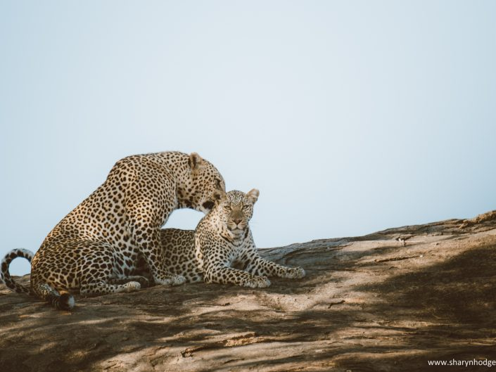 leopard, leopards mating, Tanzania, The Serengeti National Park, safari, morning game drive, travel blog, tanzania photographer, wildlife photography, east africa, sharyn hodges