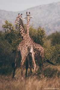 maasai giraffe, Tanzania, The Serengeti National Park, safari, morning game drive, travel blog, tanzania photographer, wildlife photography, east africa, sharyn hodges