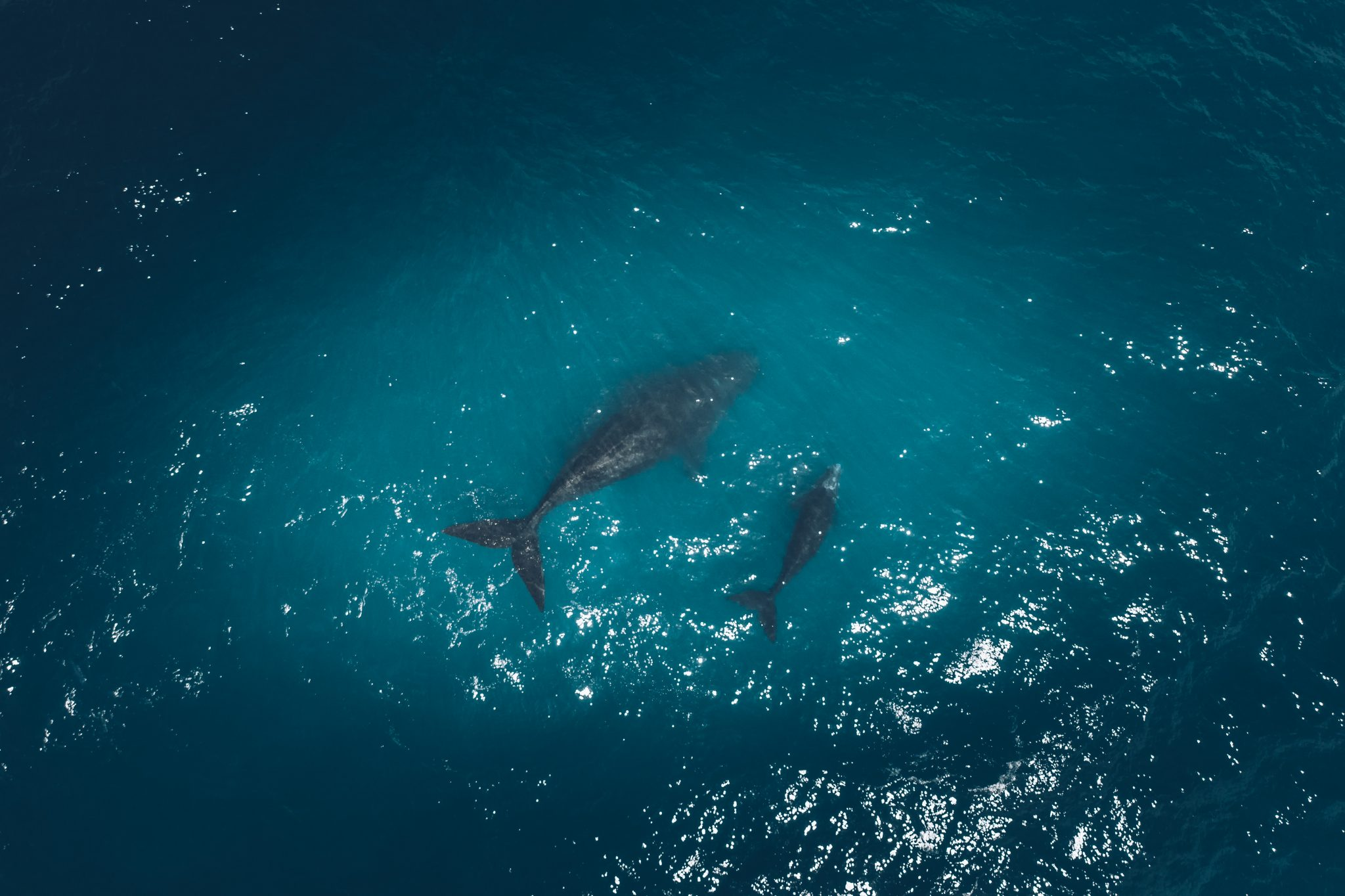 Southern Right Whales, Sharyn Hodges, Plettenberg Bay Photogrpaher, Plett photos, drone photography, mother and calf