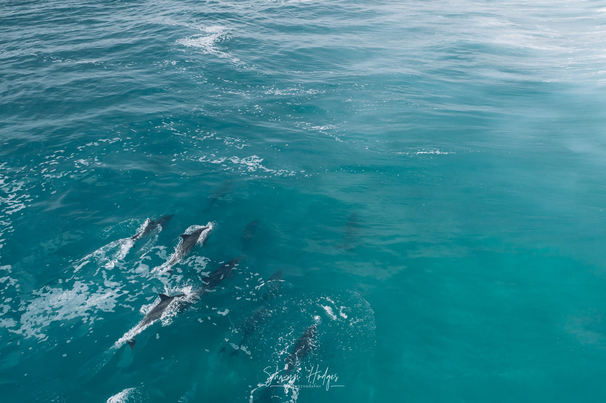 dolphins, plett, Plettenberg bay photographer, garden route photography, common dolphin