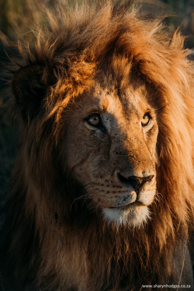 male lion, lion portrait, Tanzania, The Serengeti National Park, safari, morning game drive, travel blog, tanzania photographer, wildlife photography, east africa, sharyn hodges