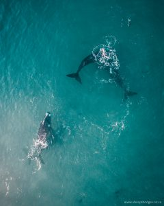 Southern Right Whales, Plettenberg Bay, Garden Route Photographer, Sharyn Hodges