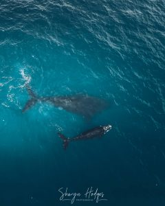 Aerial Shot Of Southern Right Whales In The Garden Route